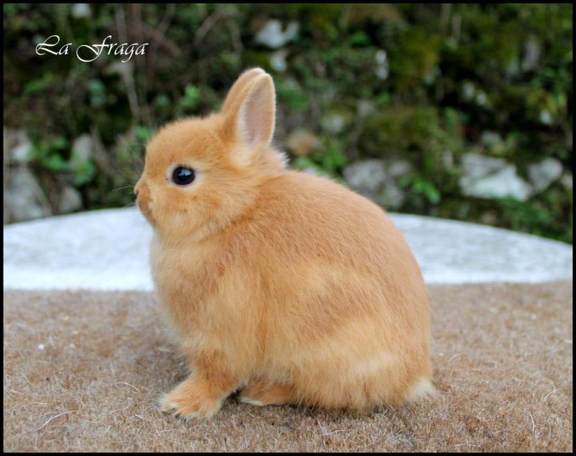Vista de un conejo holandés enano de pelo marrón