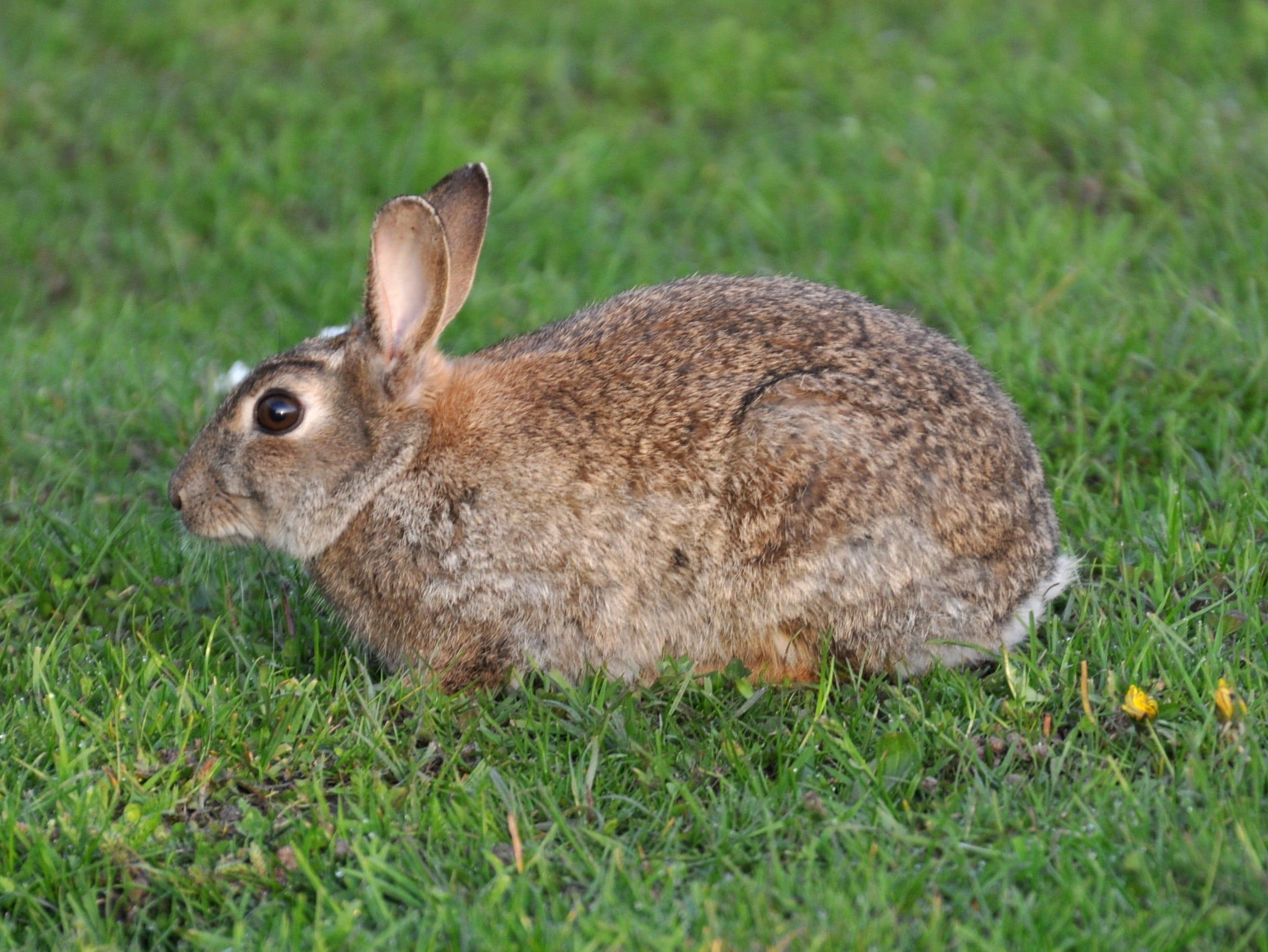 El nombre científico del conejo común es Oryctolagus cuniculus