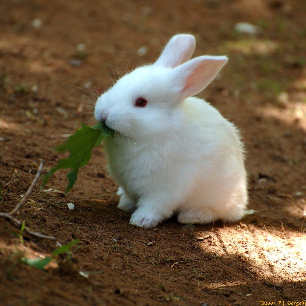 Vista de un ejemplar joven de conejo blanco de Florida