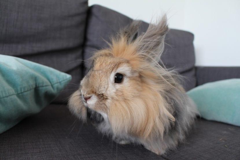 El conejo Angora es un animal muy bonito