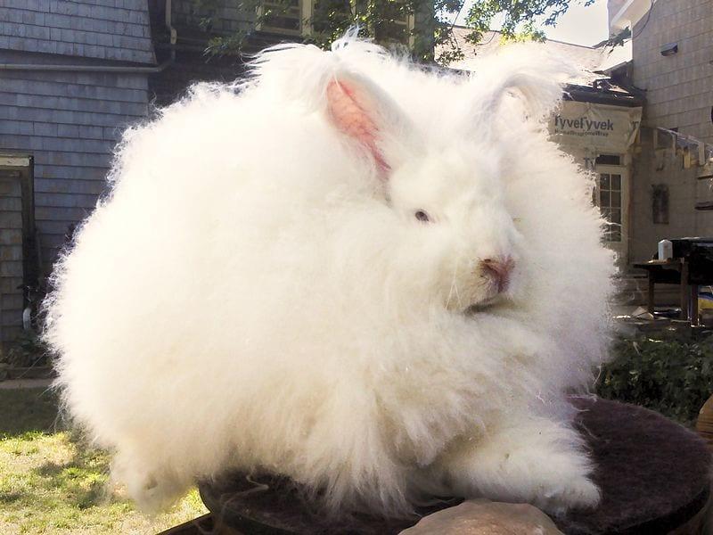 Vista de un conejo de Angora gigante