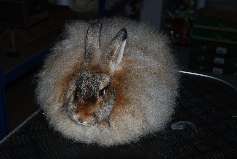 Vista de un conejo de Angora satén