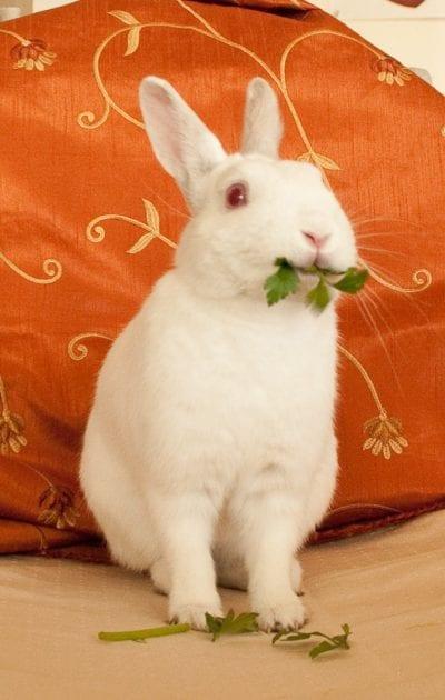 El conejo blanco de Florida se puede comprar en cualquier tienda de animales