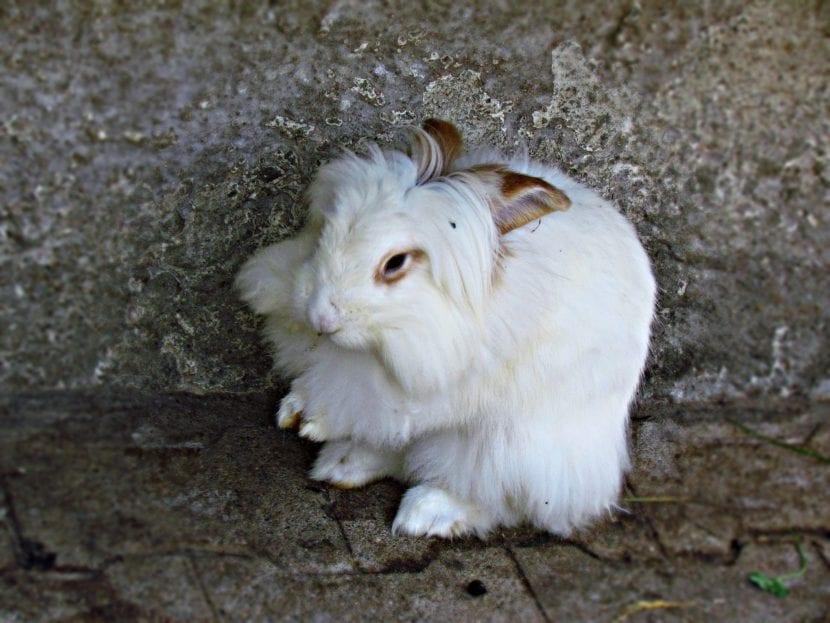 Ejemplar de conejo de Angora blanco