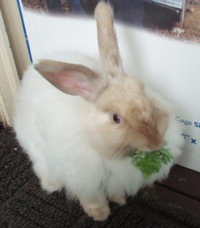 Vista de un conejo de Angora francés