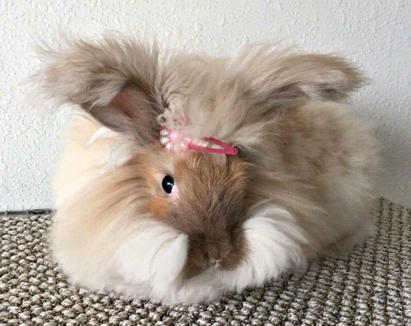 Los conejos de Angora pueden tener el pelaje de distintos colores, como el marrón
