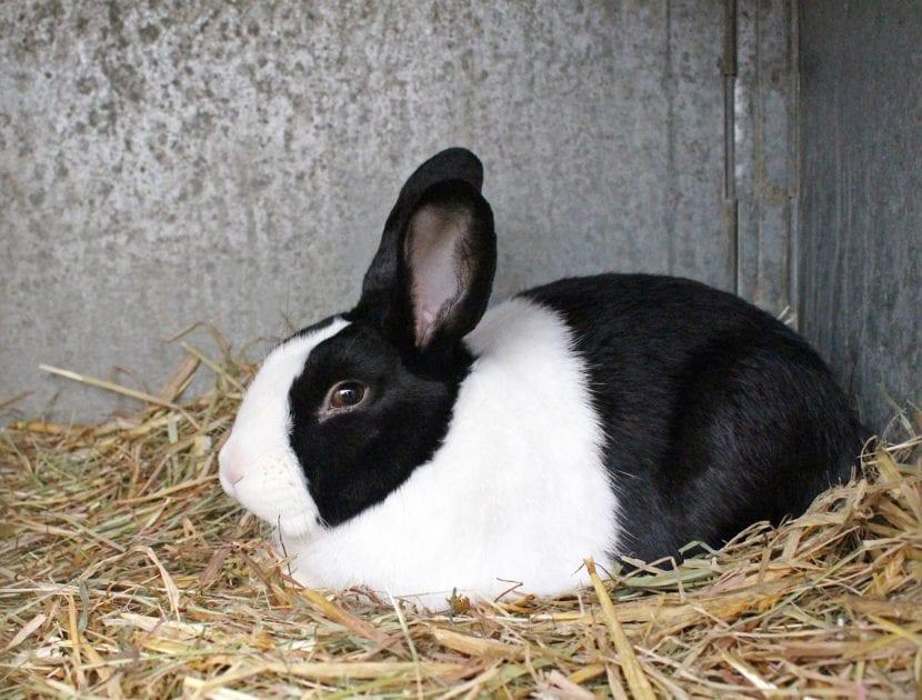 Vista de un conejo holandés adulto