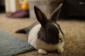 El conejo holandés puede estar en la casa