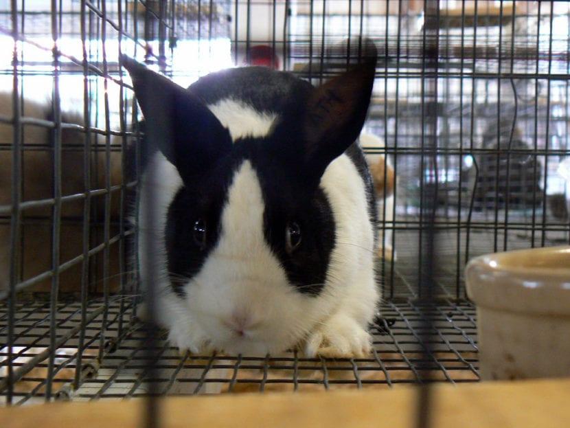 El conejo holandes puede estar en una jaula mediana