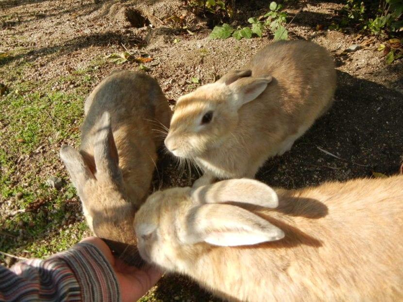Los conejos comunes son animales que viven en grupos