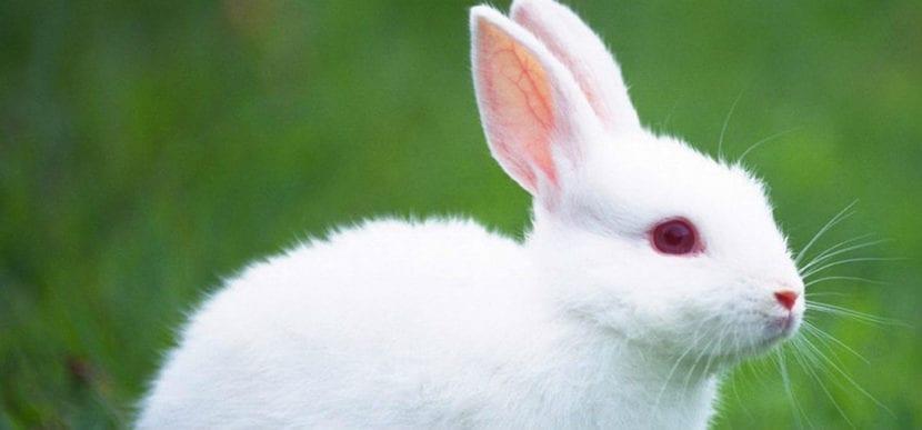 El conejo blanco de Florida es un animal albino