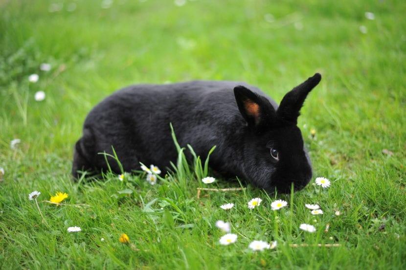 Al Alaska rabbit le encanta estar en el campo