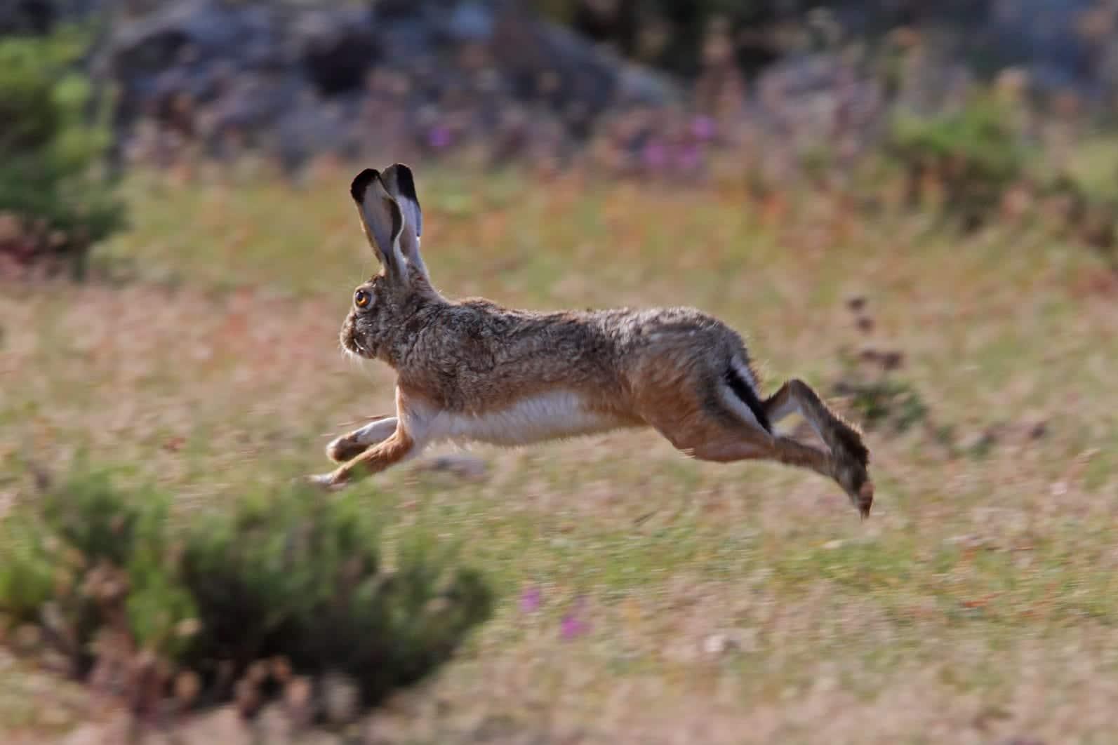 Las liebres son unos de los herbívoros más rápidos