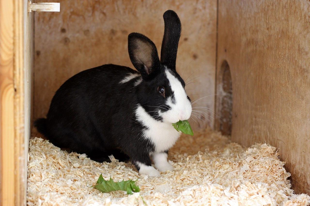 Vista de un mellerud rabbit adulto
