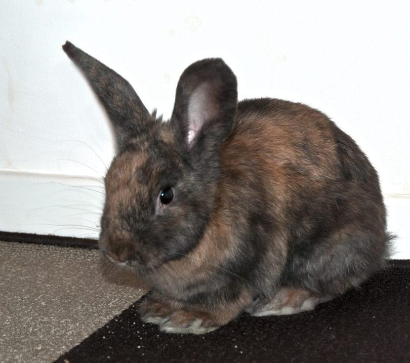 El conejo arlequin tiene un pelaje precioso