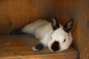 El conejo californiano tiene el cuerpo blanco con manchas negras