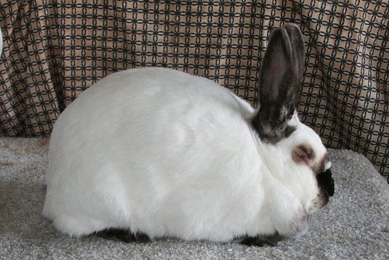 El conejo californiano es muy cariñoso