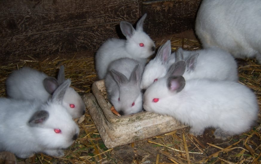 Los conejos californianos son muy sociables