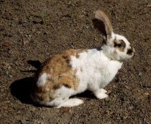 El Gotland rabbit es un conejo muy bonito