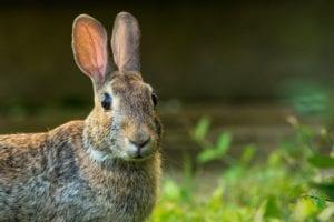 Las liebres son muy parecidas a los conejos, pero más grandes