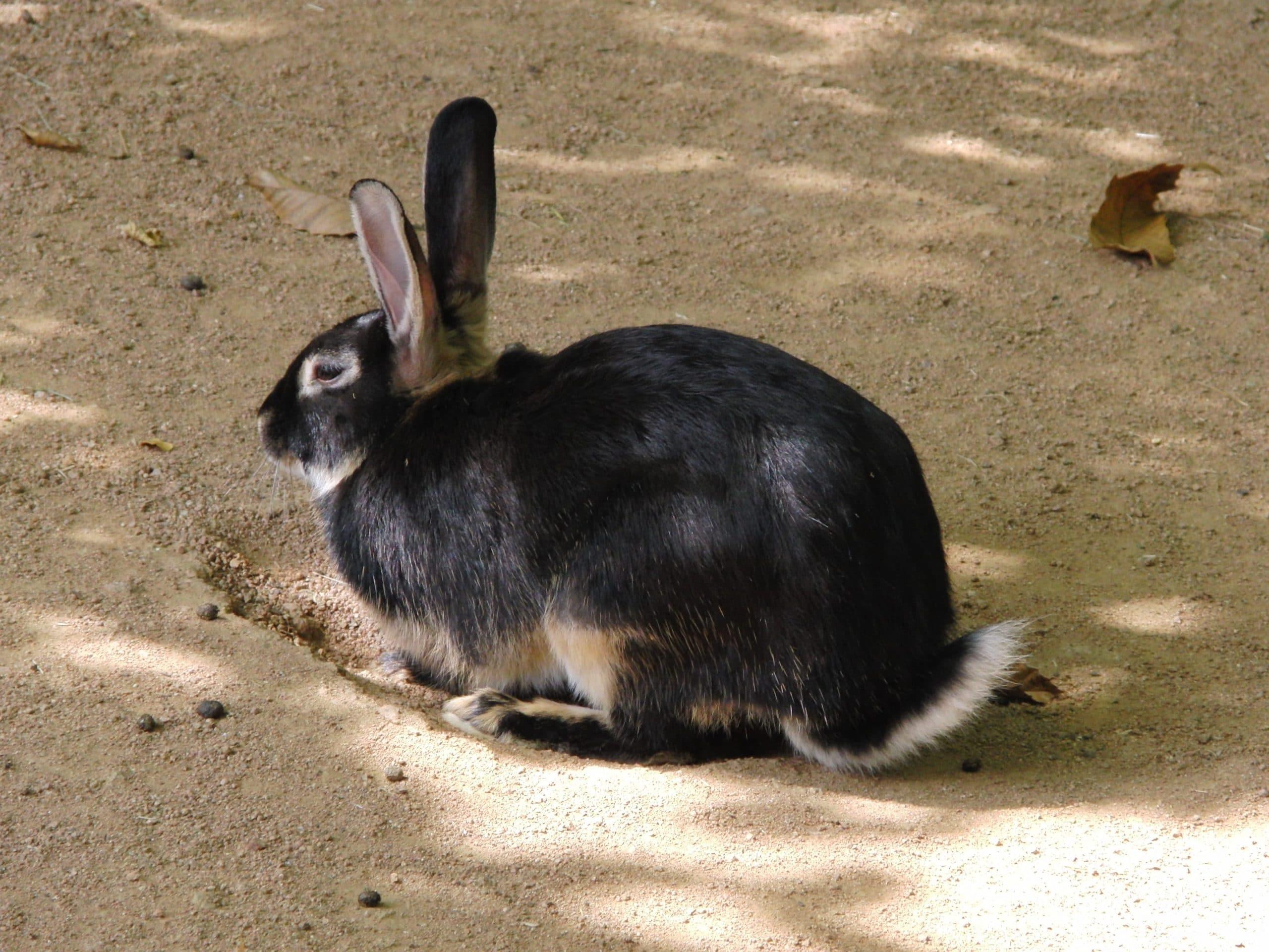 El conejo Lapin chevre tiene el pelo negro y marrón