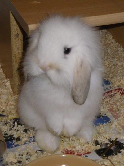 El conejo belier es un animal muy querido