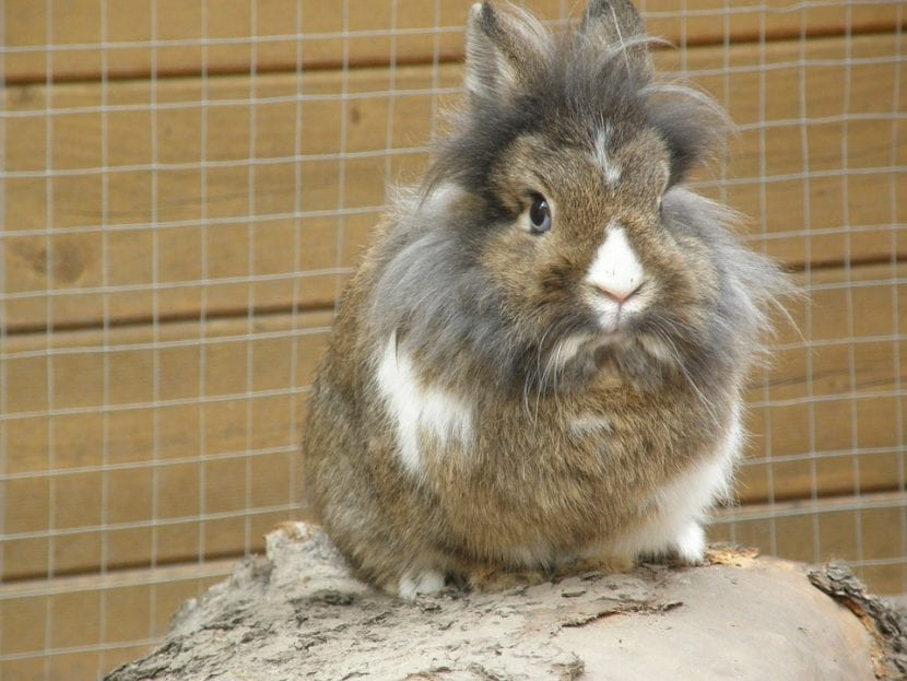 El conejo cabeza de león tiene una característica melena alrededor de la cabeza
