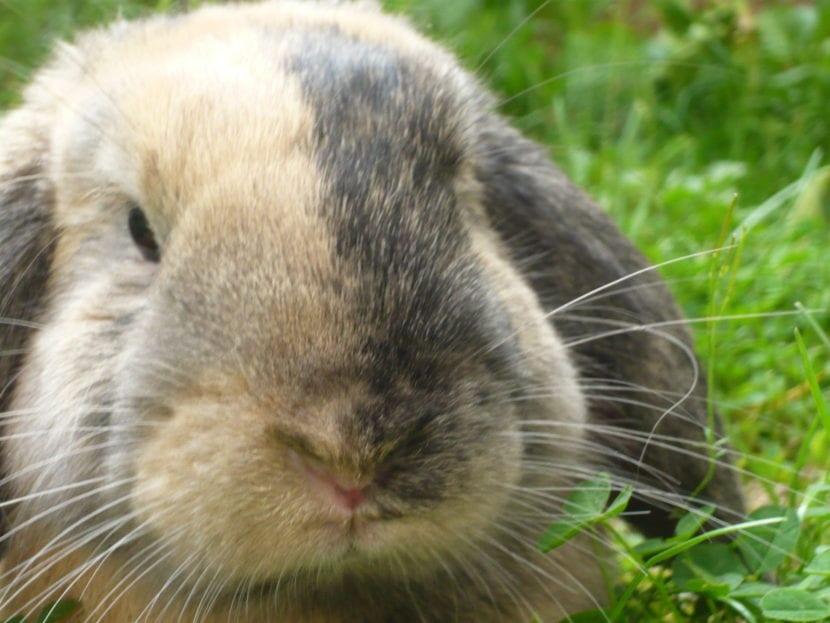 El conejo belier tiene las orejas largas