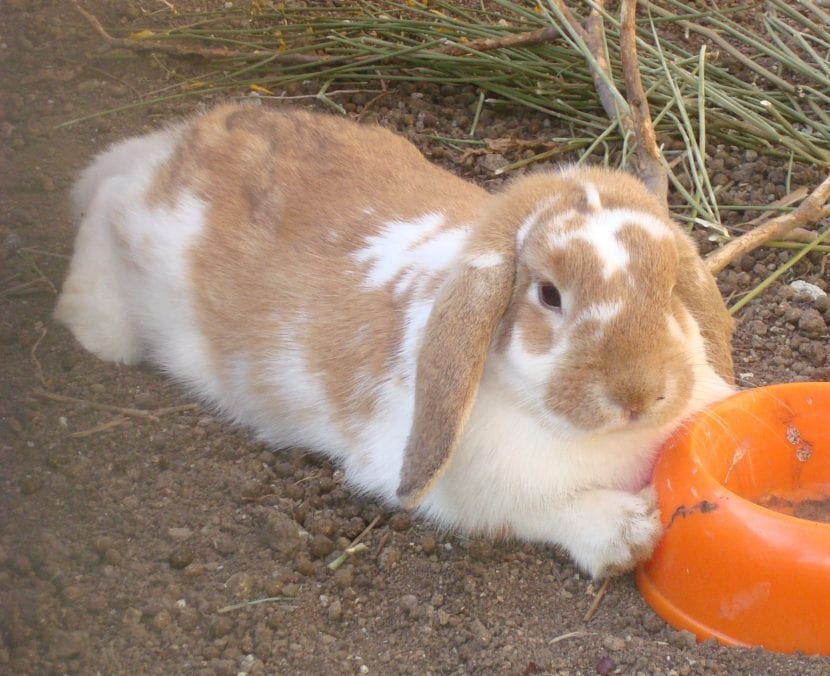 El conejo Belier adulto es un animal adorable