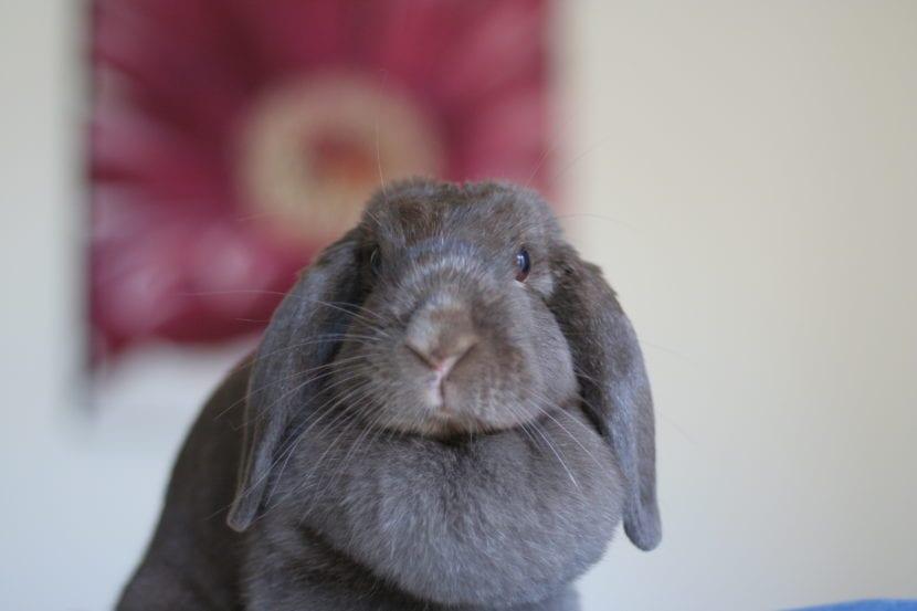 El conejo Belier puede ser de diversos colores, entre ellos el gris