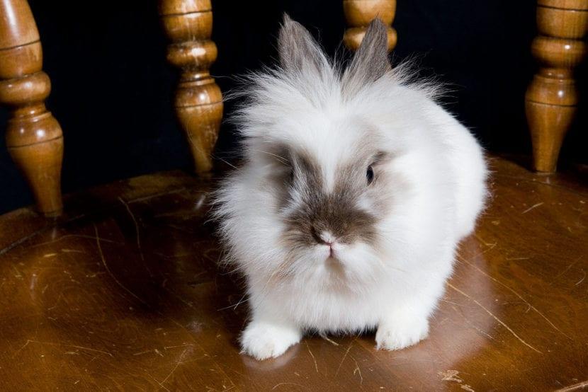 El conejo cabeza de león puede ser uni, bi o tricolor