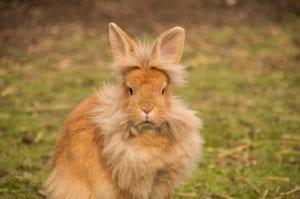 El conejo cabeza de león es muy simpático