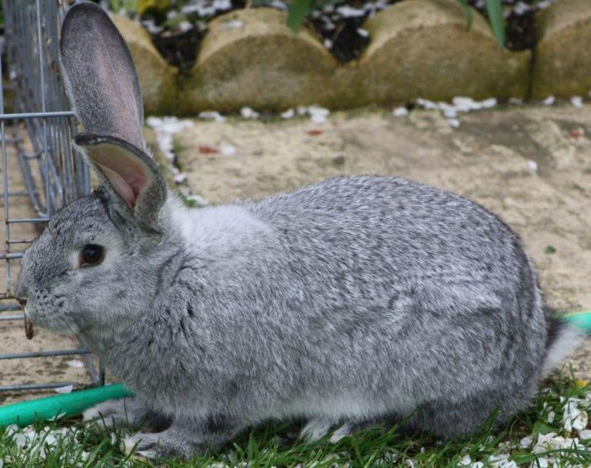 El conejo gran chinchilla es tranquilo
