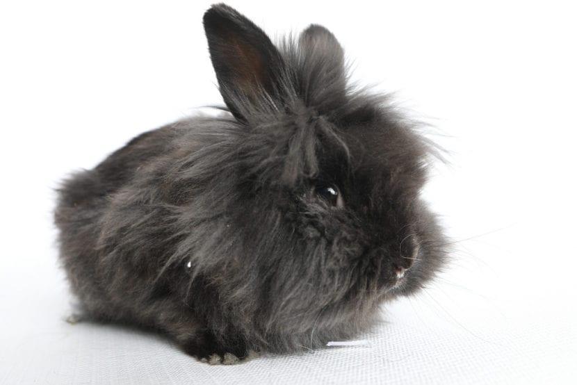 El conejo cabeza de león negro es muy bonito