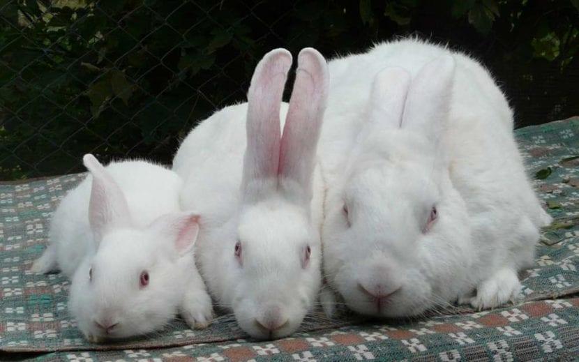 Una familia de conejos hyplus