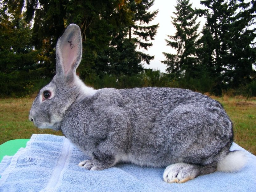 El conejo gran chinchilla es un animal de tamaño medio