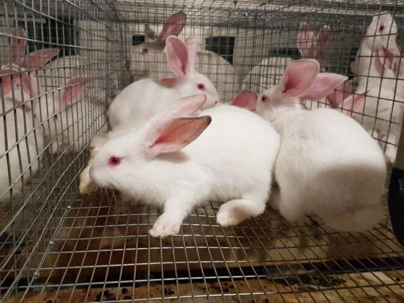 Los conejos hyplus tienen un pasado oscuro