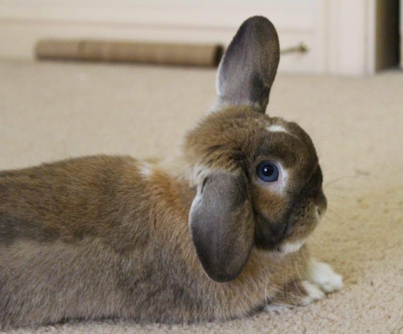 El conejo Holland lop es un animal muy tranquilo