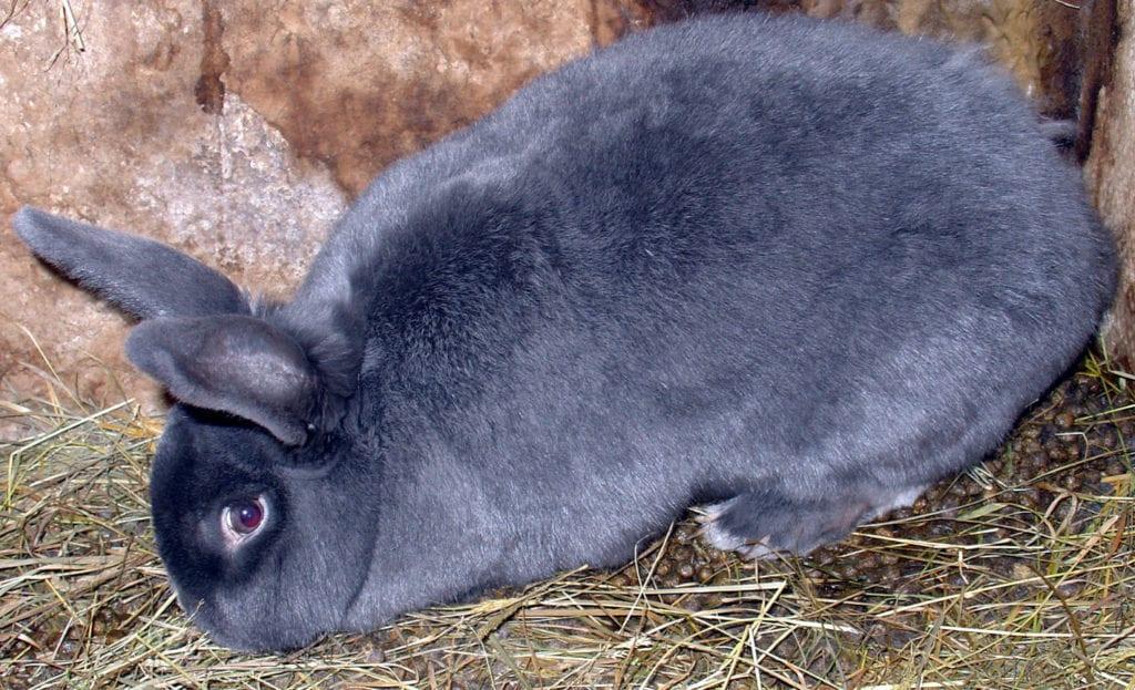 El conejo azul de Viena tiene un tamaño grande