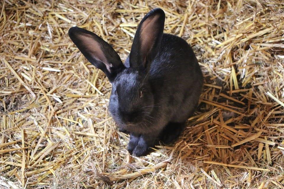 El conejo azul de Viena es un animal muy simpático