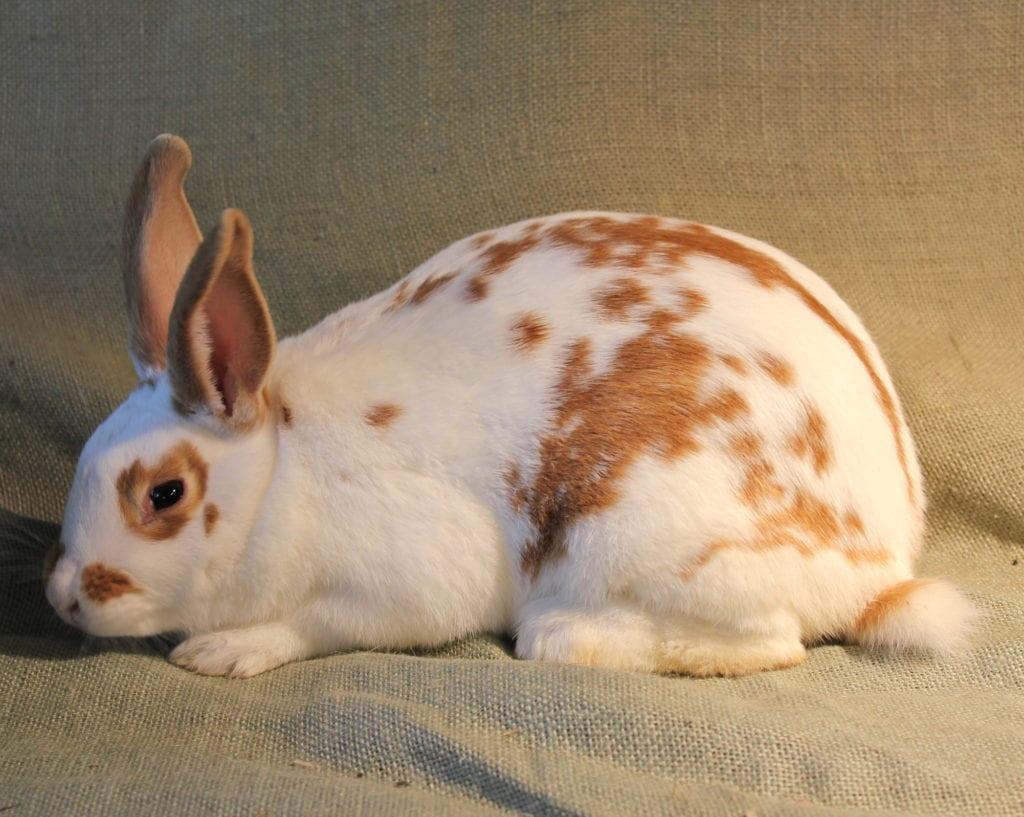 El conejo de Nueva Zelanda es la mascota ideal para las familias con niños