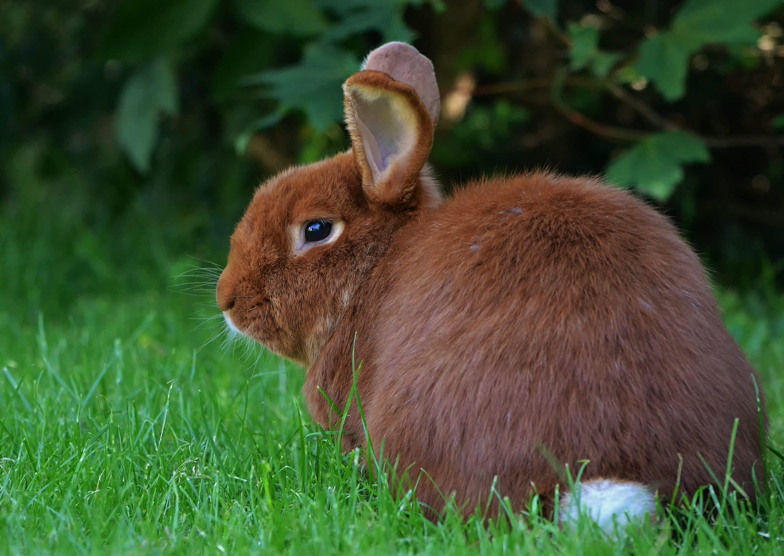 El conejo de Nueva Zelanda es pequeño