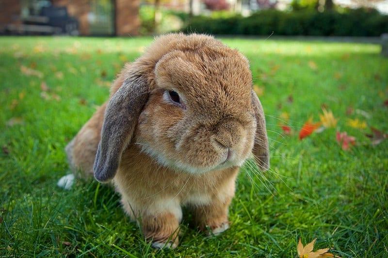 Conejo Holland lop adulto, un peludo más bien pequeño que te encantará