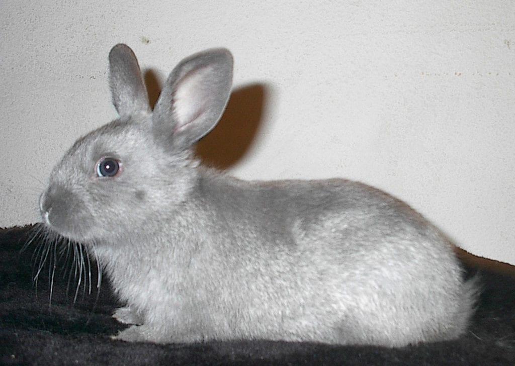 Vista de un ejemplar joven de conejo Silver Fox
