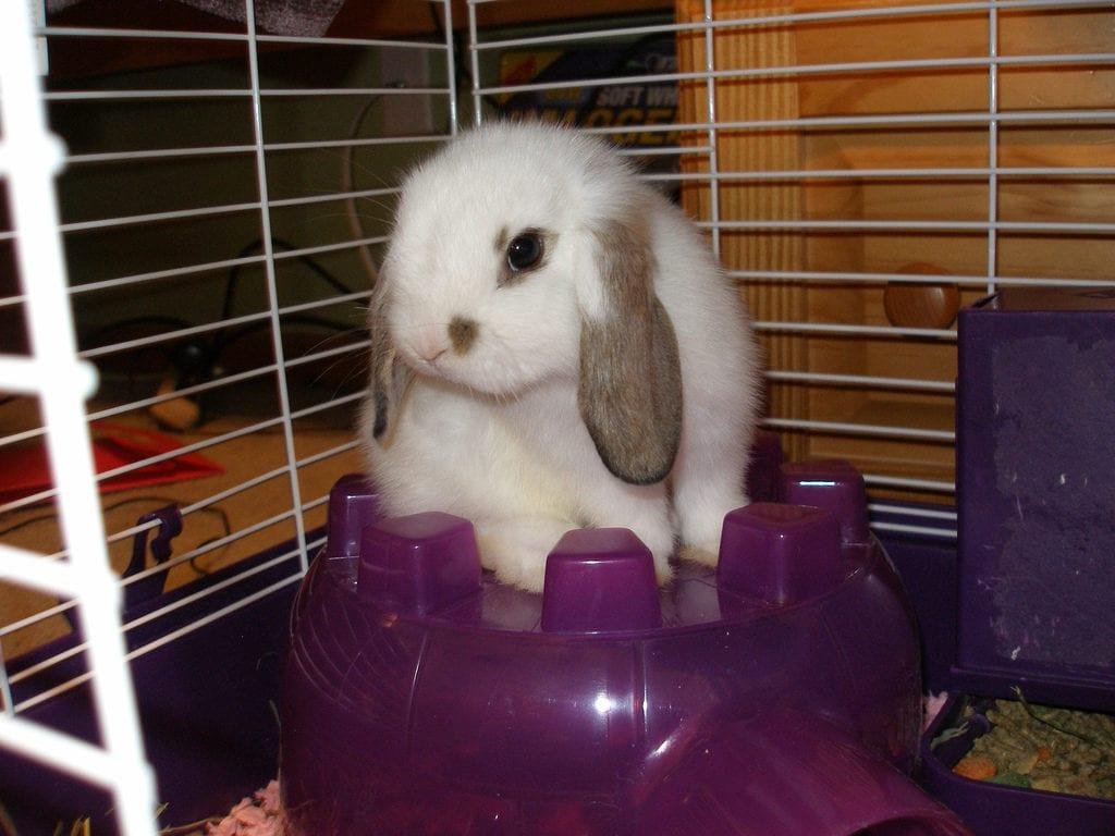 El conejo mini lop es muy cariñoso