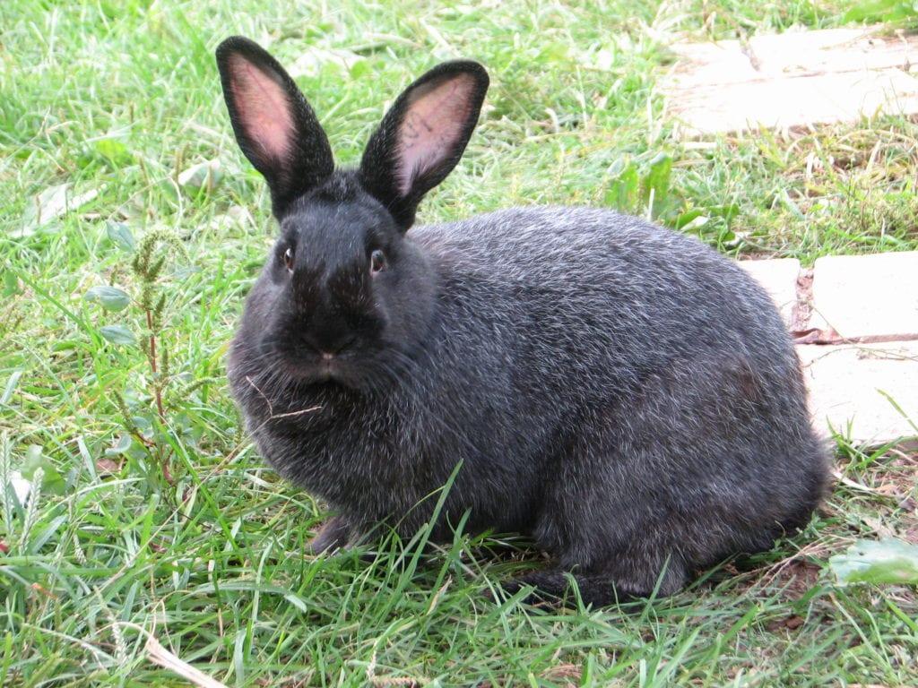Vista de un conejo Silver Fox adulto