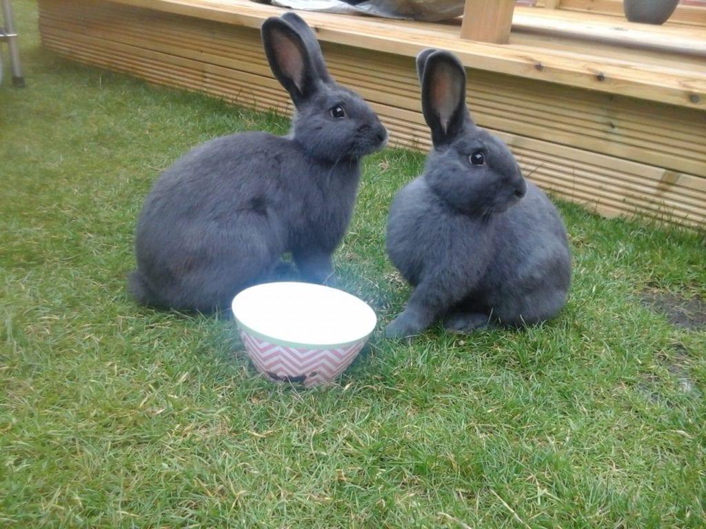 Los conejos azul de Viena pueden ser muy sociables