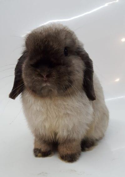 El conejo Holland Lop es un peludo adorable