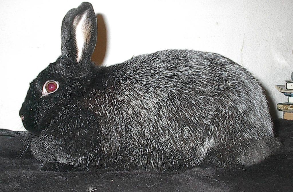 El Silver Fox es un conejo fácil de cuidar