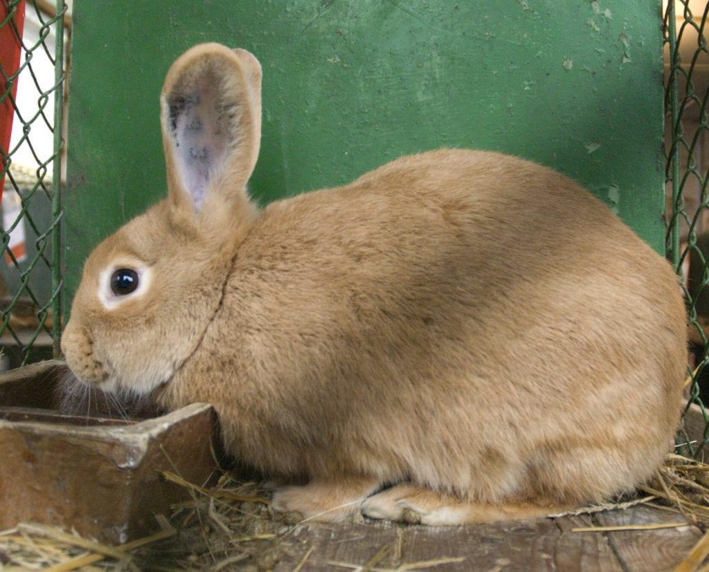 El conejo fauce de Bourgogne es adorable